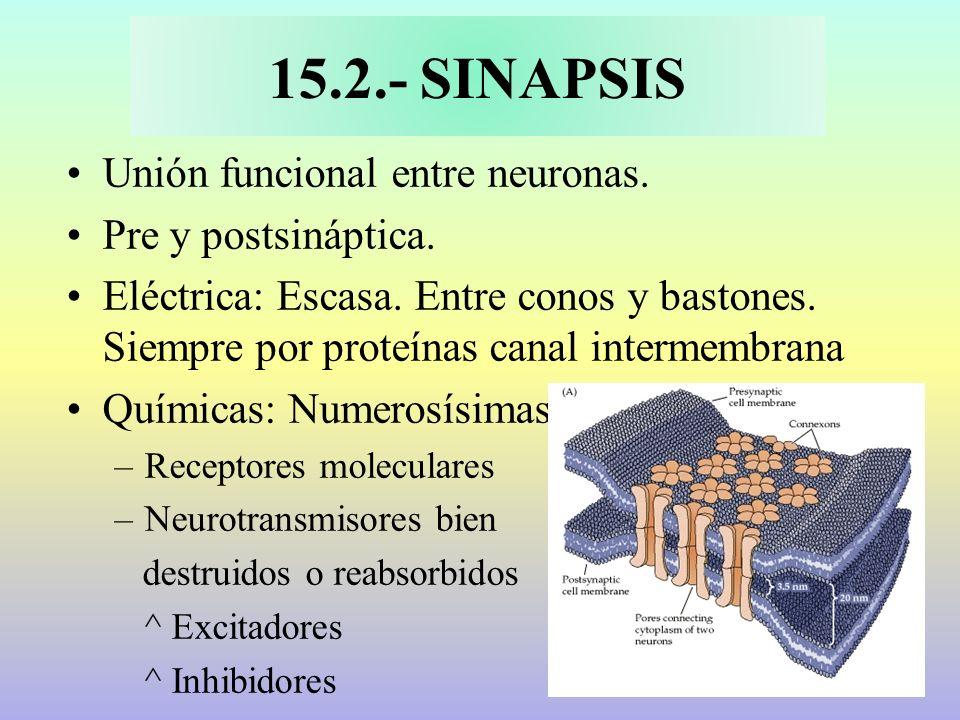 15.2.- SINAPSIS Unión funcional entre neuronas. Pre y postsináptica. Eléctrica: Escasa. Entre conos y bastones. Siempre por proteínas canal intermembr