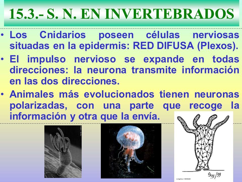 15.3.- S. N. EN INVERTEBRADOS Los Cnidarios poseen células nerviosas situadas en la epidermis: RED DIFUSA (Plexos). El impulso nervioso se expande en