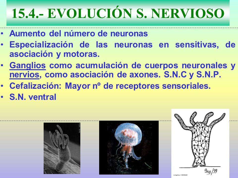 15.4.- EVOLUCIÓN S. NERVIOSO Aumento del número de neuronas Especialización de las neuronas en sensitivas, de asociación y motoras. Ganglios como acum