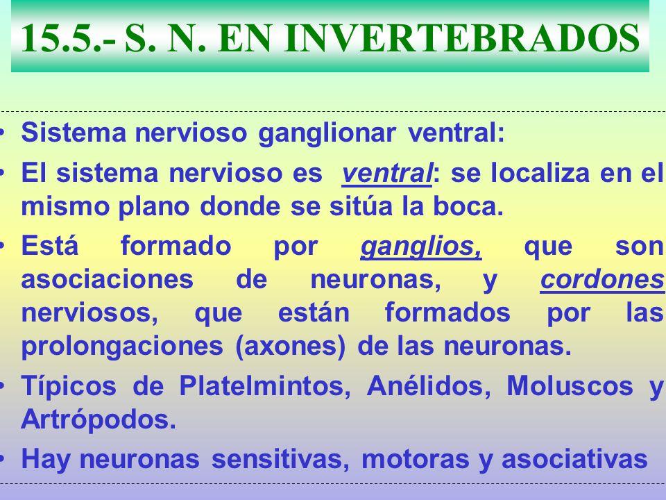 15.5.- S. N. EN INVERTEBRADOS Sistema nervioso ganglionar ventral: El sistema nervioso es ventral: se localiza en el mismo plano donde se sitúa la boc