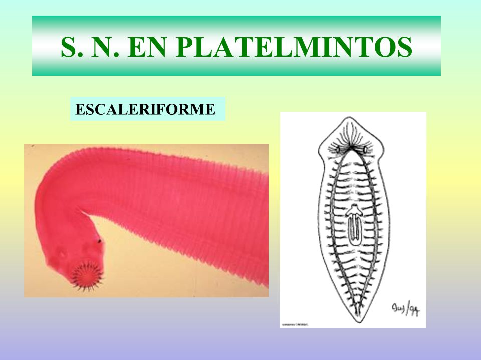 S. N. EN PLATELMINTOS ESCALERIFORME