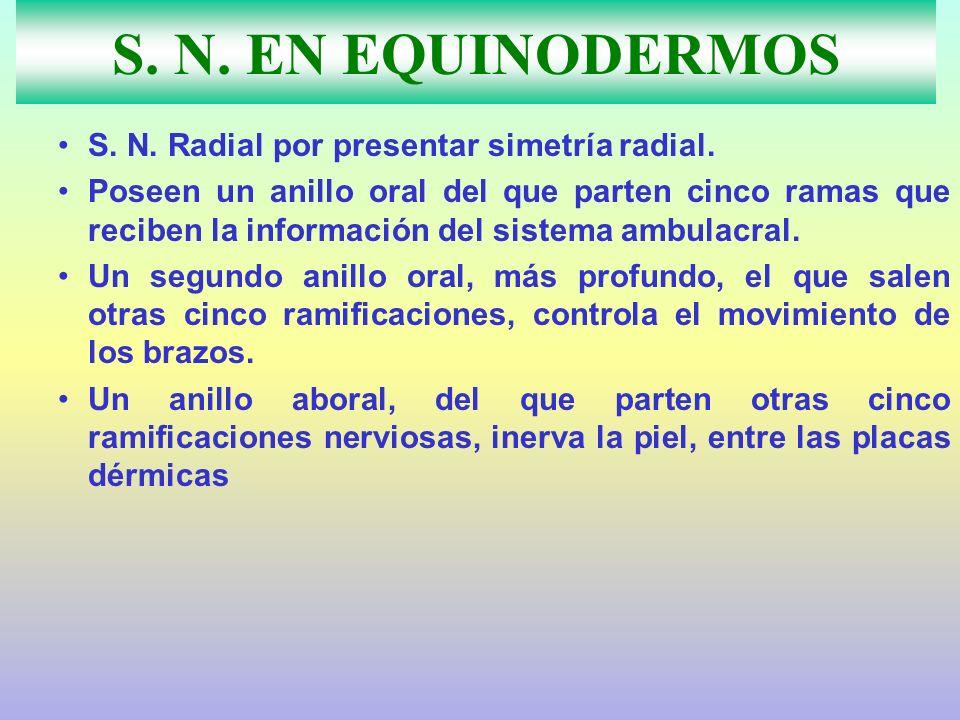 S. N. EN EQUINODERMOS S. N. Radial por presentar simetría radial. Poseen un anillo oral del que parten cinco ramas que reciben la información del sist
