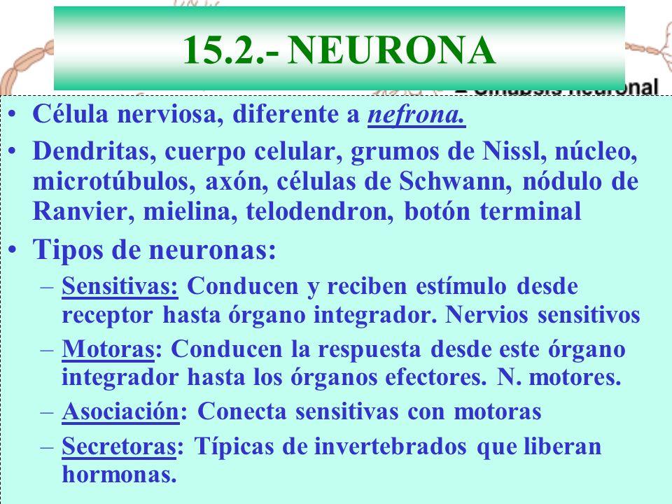 15.2.- NEURONA Célula nerviosa, diferente a nefrona. Dendritas, cuerpo celular, grumos de Nissl, núcleo, microtúbulos, axón, células de Schwann, nódul