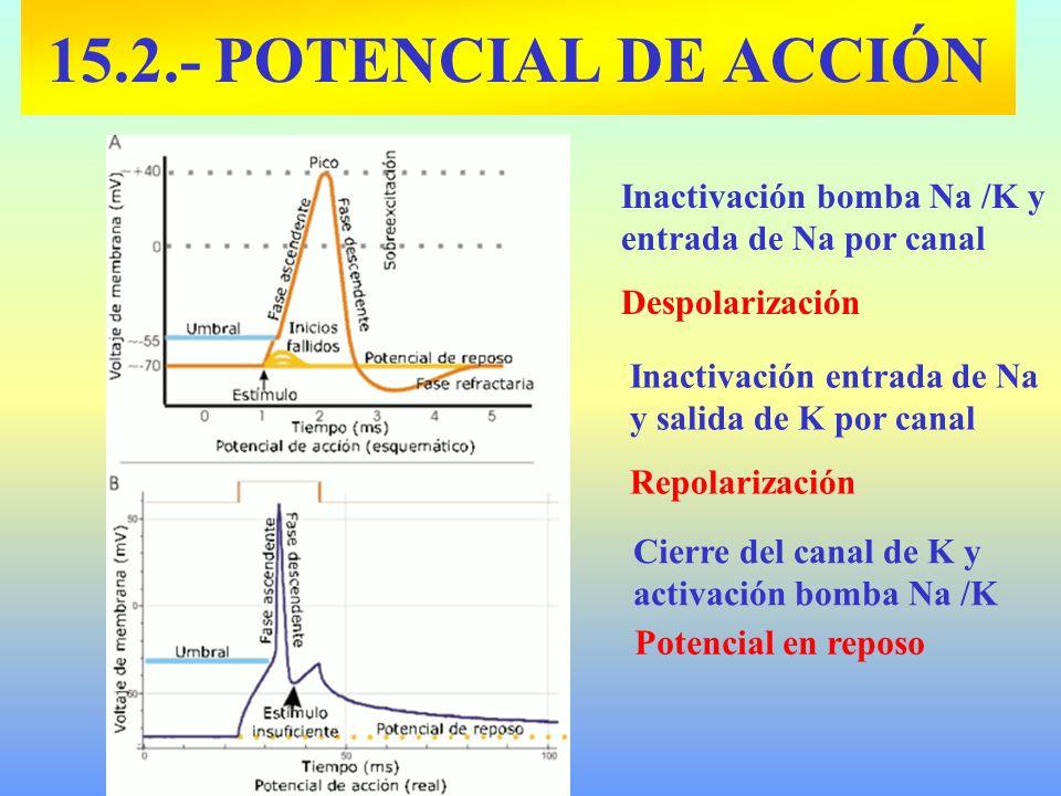 Inactivación bomba Na /K y entrada de Na por canal Despolarización Inactivación entrada de Na y salida de K por canal Repolarización Cierre del canal