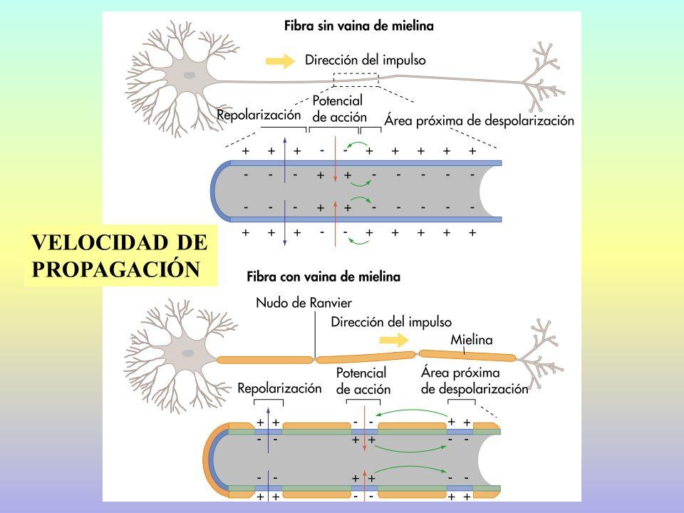 15.2.- SINAPSIS Unión funcional entre neuronas.Pre y postsináptica.