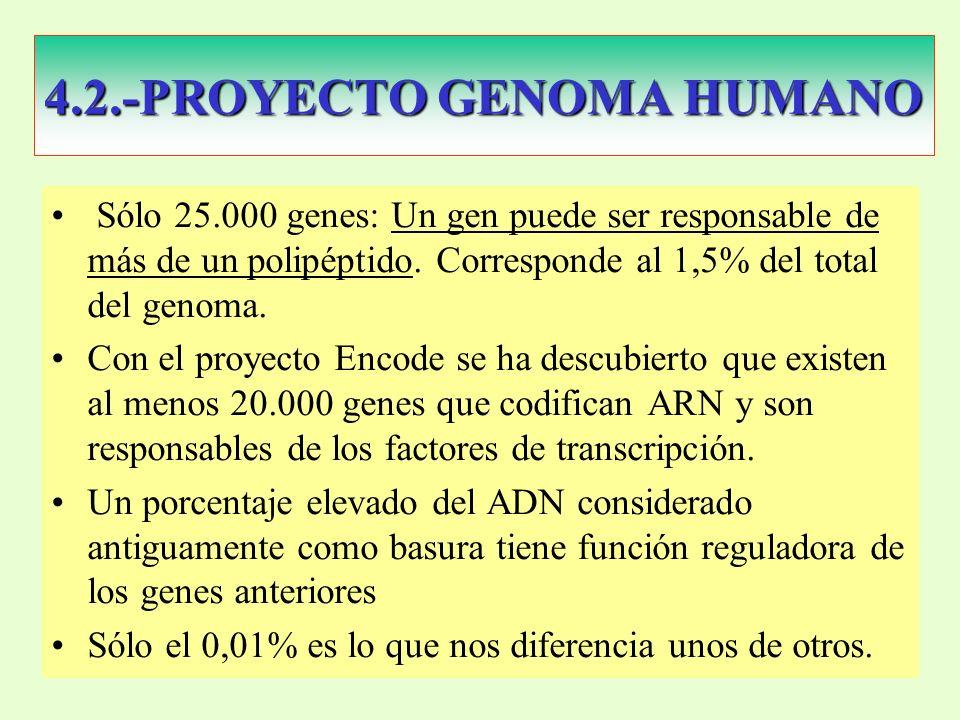 4.2.-PROYECTO GENOMA HUMANO Sólo 25.000 genes: Un gen puede ser responsable de más de un polipéptido.