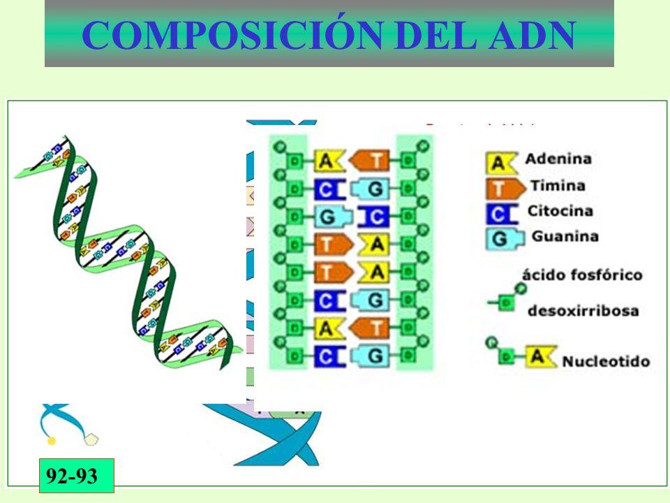 COMPOSICIÓN DEL ADN 92-93