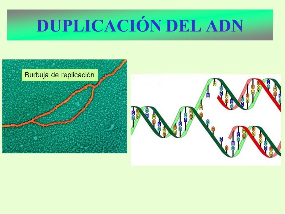 DUPLICACIÓN DEL ADN Burbuja de replicación
