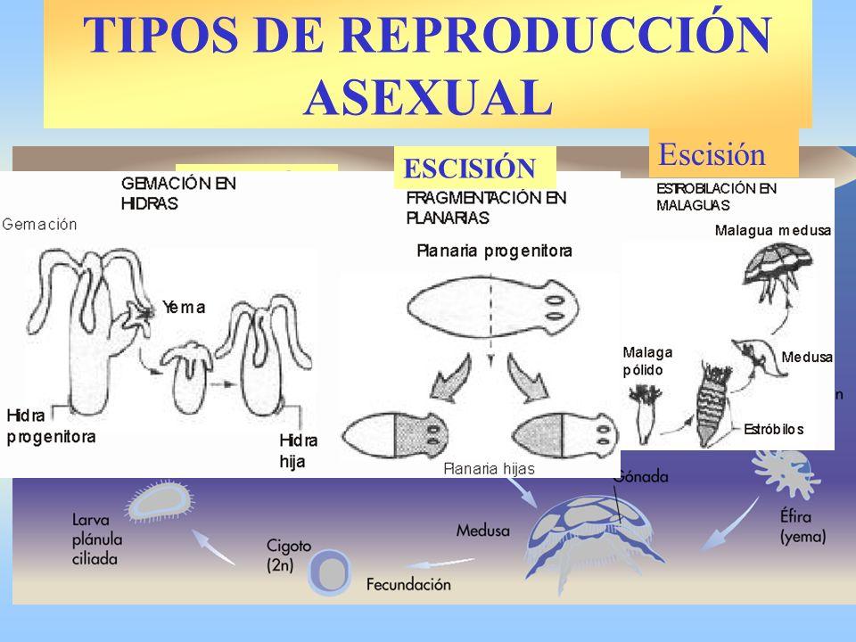 TIPOS DE REPRODUCCIÓN ASEXUAL: POLIEMBRIONÍA Avispas Armadillo
