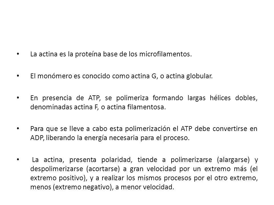 La actina es la proteína base de los microfilamentos. El monómero es conocido como actina G, o actina globular. En presencia de ATP, se polimeriza for