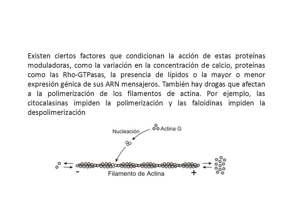 Existen ciertos factores que condicionan la acción de estas proteínas moduladoras, como la variación en la concentración de calcio, proteínas como las
