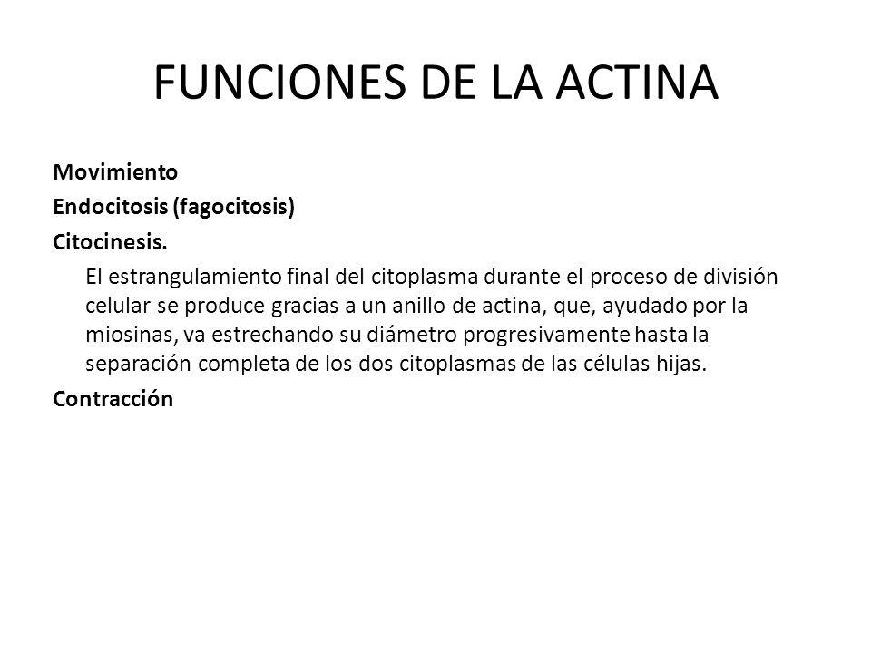 FUNCIONES DE LA ACTINA Movimiento Endocitosis (fagocitosis) Citocinesis. El estrangulamiento final del citoplasma durante el proceso de división celul