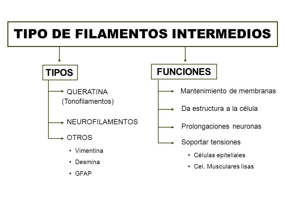 TIPO DE FILAMENTOS INTERMEDIOS TIPOS FUNCIONES QUERATINA (Tonofilamentos) NEUROFILAMENTOS OTROS Vimentina Desmina GFAP Mantenimiento de membranas Da e