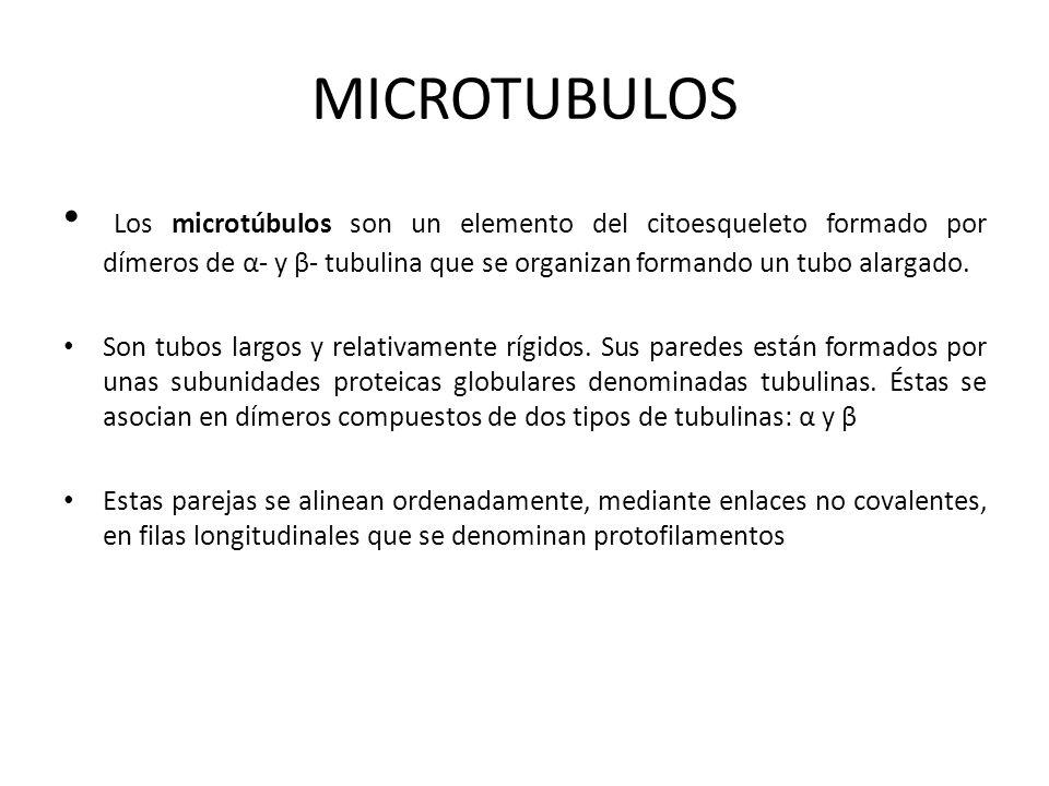 MICROTUBULOS Los microtúbulos son un elemento del citoesqueleto formado por dímeros de α- y β- tubulina que se organizan formando un tubo alargado. So