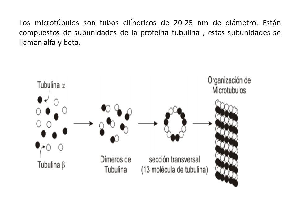 Los microtúbulos son tubos cilíndricos de 20-25 nm de diámetro. Están compuestos de subunidades de la proteína tubulina, estas subunidades se llaman a