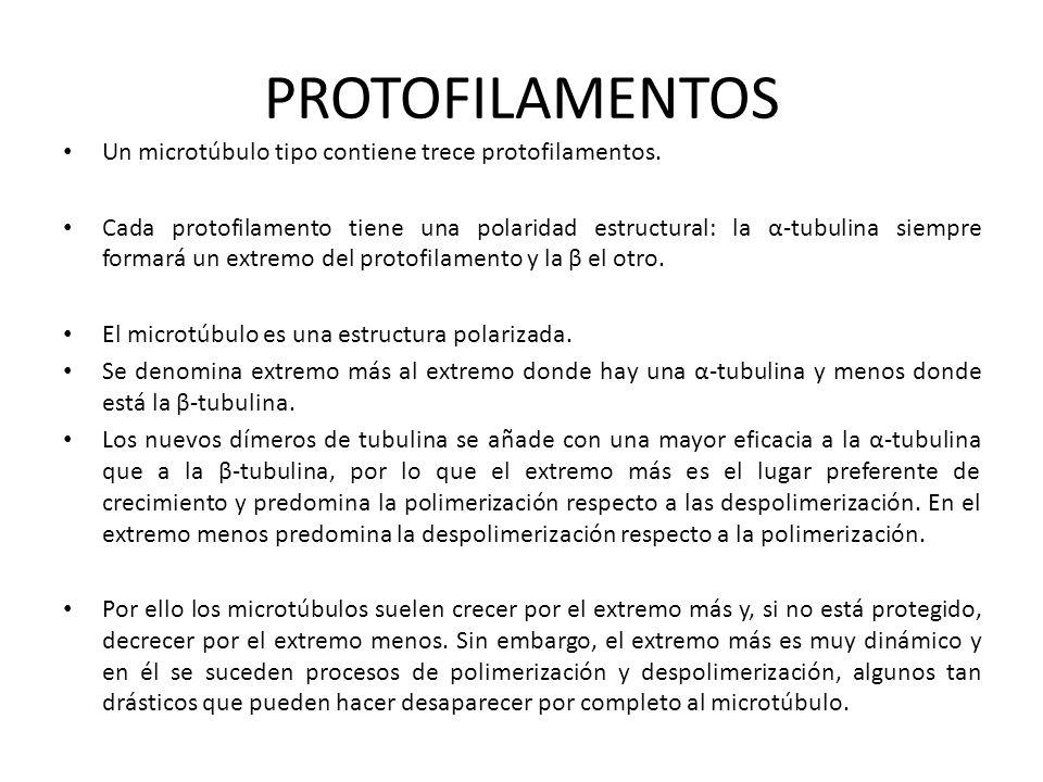 PROTOFILAMENTOS Un microtúbulo tipo contiene trece protofilamentos. Cada protofilamento tiene una polaridad estructural: la α-tubulina siempre formará