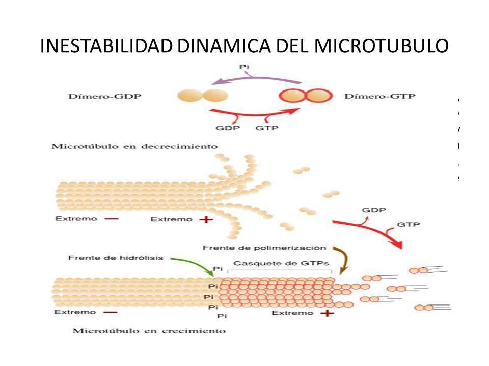 INESTABILIDAD DINAMICA DEL MICROTUBULO Una vez se ha producido el comienzo de la formación de un microtúbulo, la incorporación de nuevos dímeros de tu