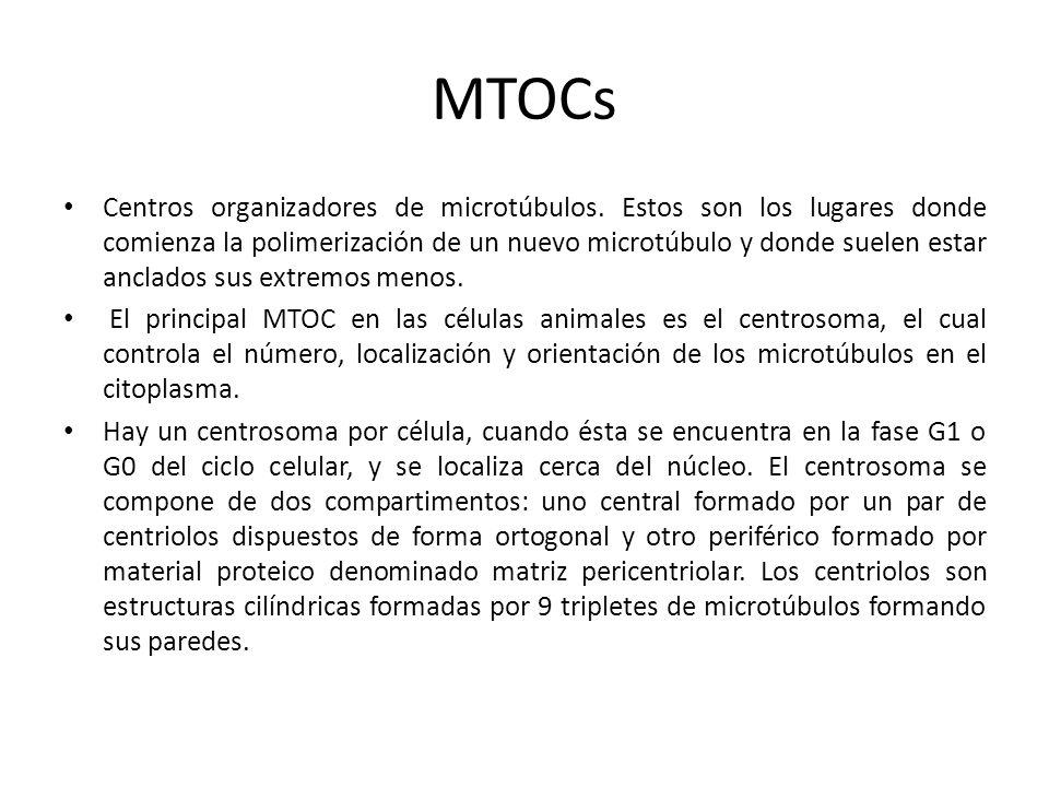 MTOCs Centros organizadores de microtúbulos. Estos son los lugares donde comienza la polimerización de un nuevo microtúbulo y donde suelen estar ancla