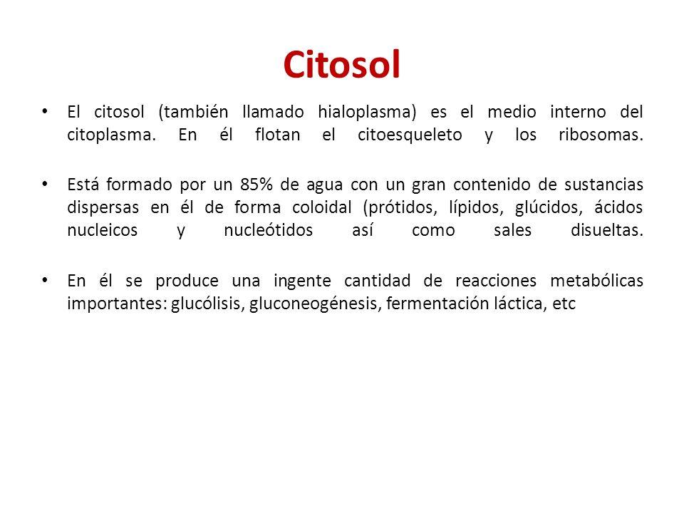 Citosol El citosol (también llamado hialoplasma) es el medio interno del citoplasma. En él flotan el citoesqueleto y los ribosomas. Está formado por u