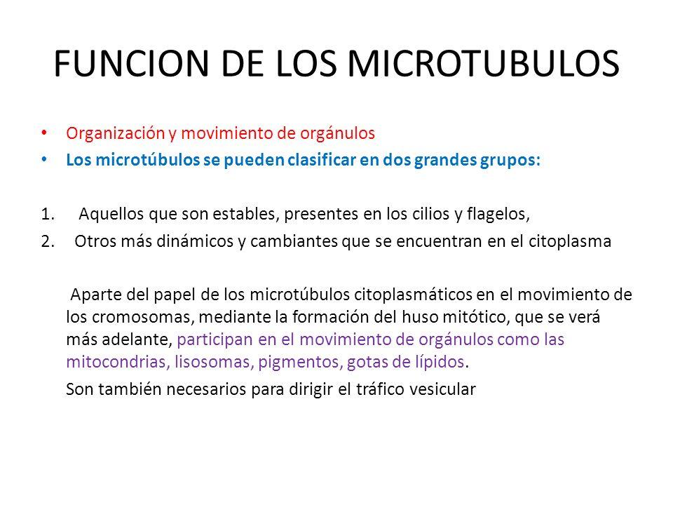 FUNCION DE LOS MICROTUBULOS Organización y movimiento de orgánulos Los microtúbulos se pueden clasificar en dos grandes grupos: 1. Aquellos que son es