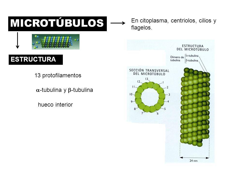 MICROTÚBULOS En citoplasma, centriolos, cilios y flagelos. ESTRUCTURA 13 protofilamentos hueco interior -tubulina y -tubulina