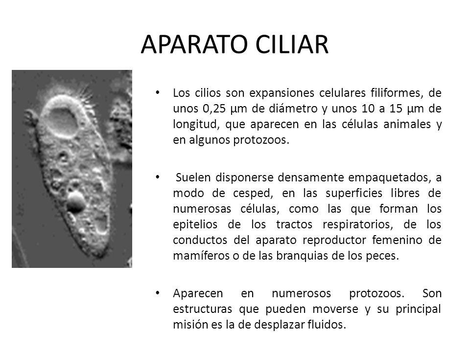 APARATO CILIAR Los cilios son expansiones celulares filiformes, de unos 0,25 µm de diámetro y unos 10 a 15 µm de longitud, que aparecen en las células