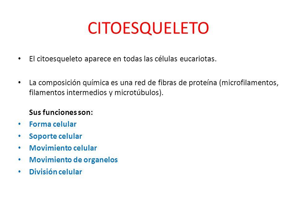 CITOESQUELETO El citoesqueleto aparece en todas las células eucariotas. La composición química es una red de fibras de proteína (microfilamentos, fila