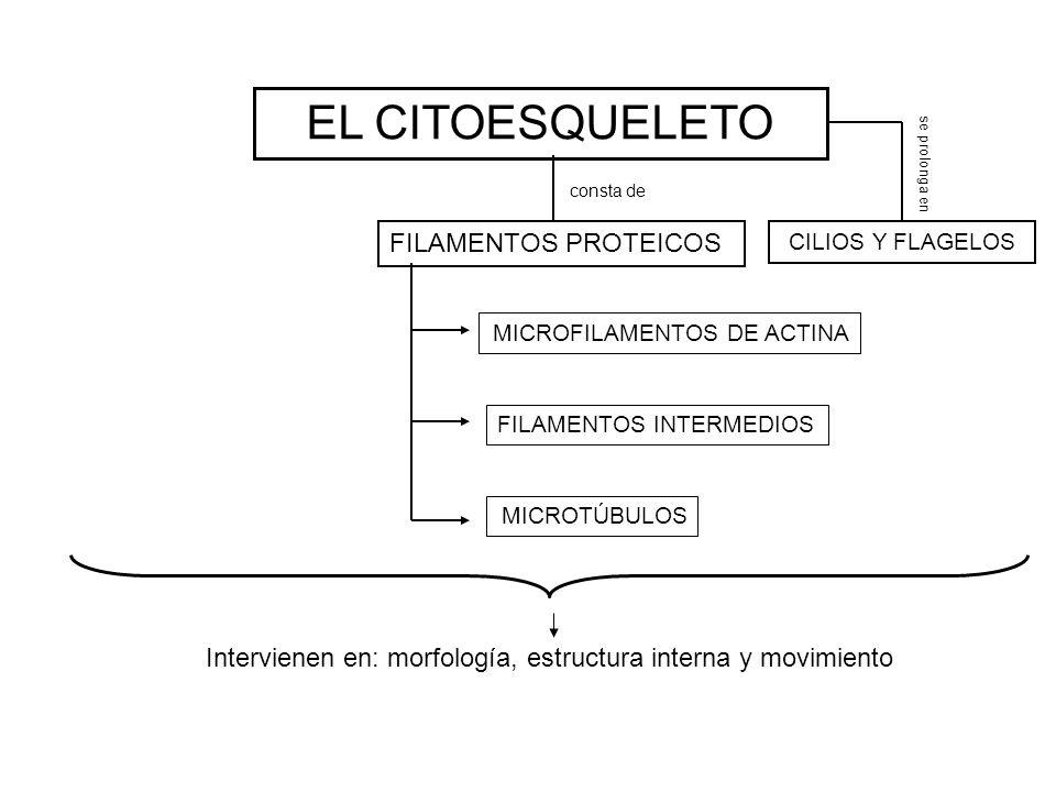 EL CITOESQUELETO FILAMENTOS PROTEICOS CILIOS Y FLAGELOS consta de se prolonga en MICROFILAMENTOS DE ACTINA FILAMENTOS INTERMEDIOS MICROTÚBULOS Intervi
