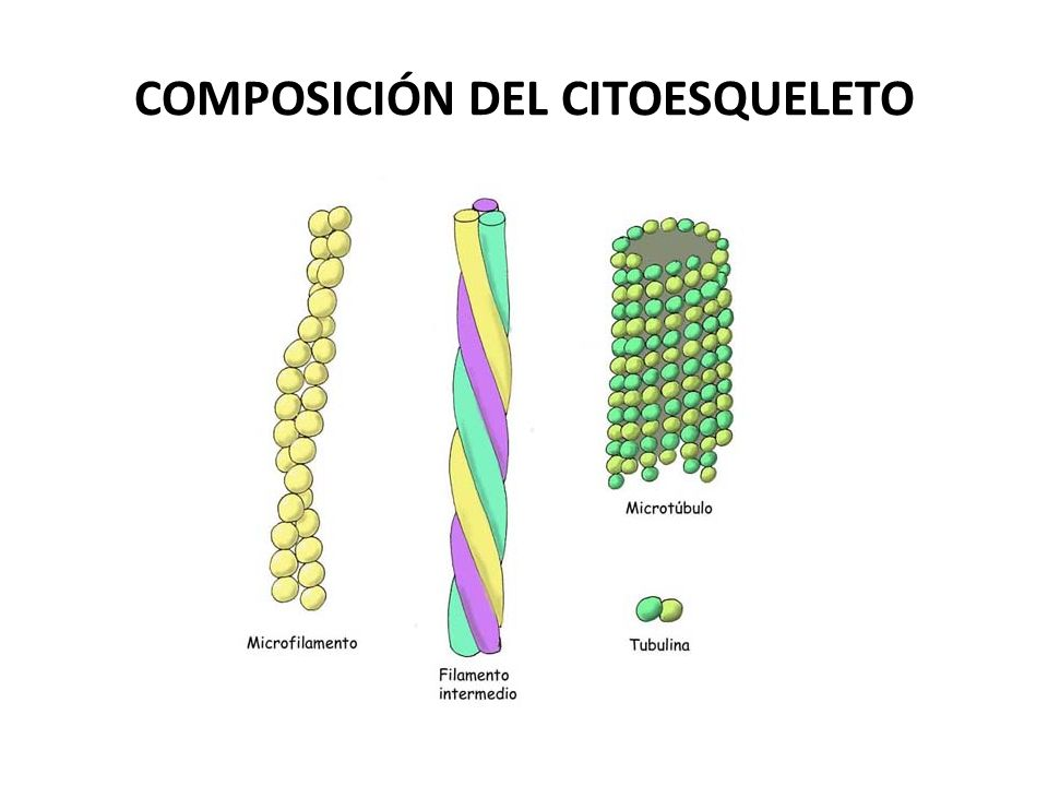 FUNCIONES DE LA ACTINA Movimiento Endocitosis (fagocitosis) Citocinesis.