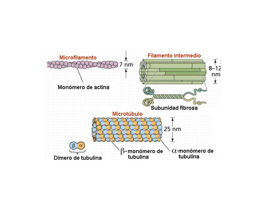 Los microtúbulos están continuamente polimerizando y despolimerizando, fundamentalmente en su extremo más