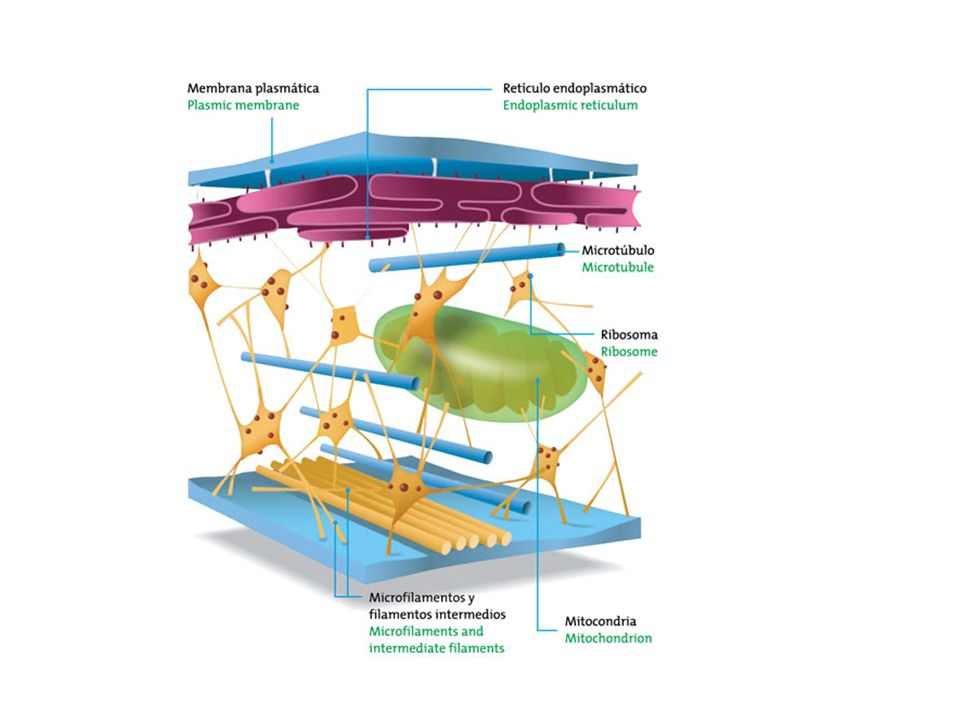 MTOCs Centros organizadores de microtúbulos.