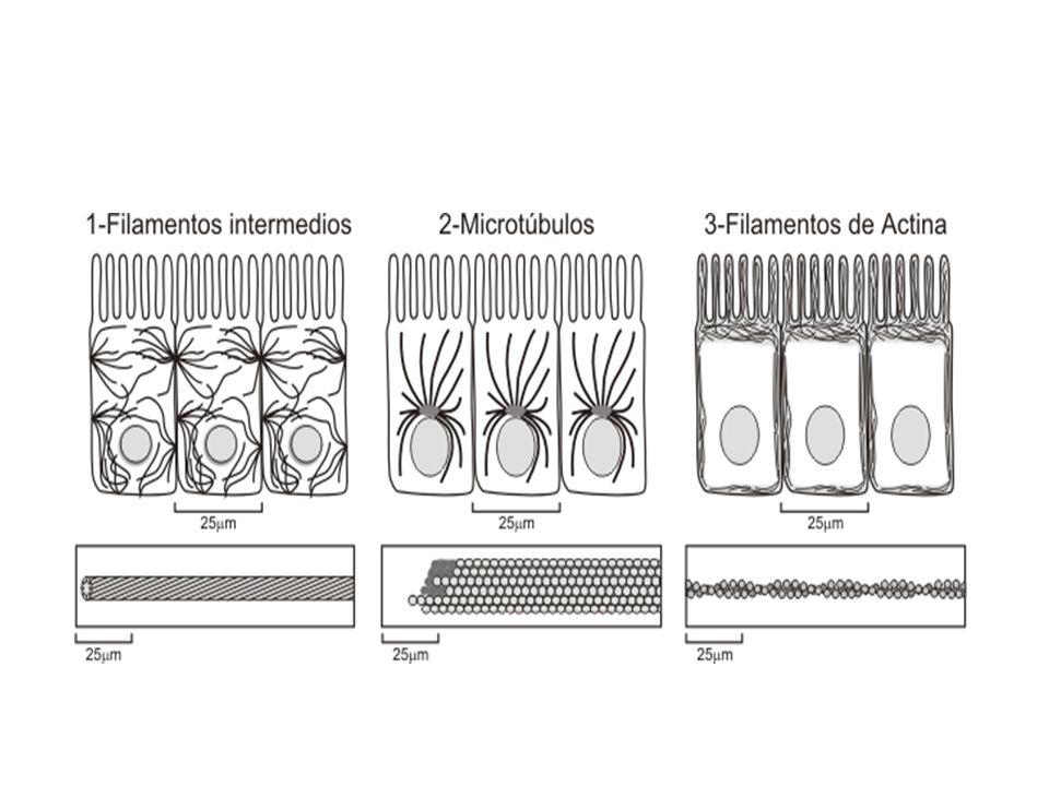 MICROFILAMENTOS Son las fibras más delgadas de 3-6 nm (nanómetros=milmillonésimas de metro= 10 -9 ), están formados por la proteína actina.