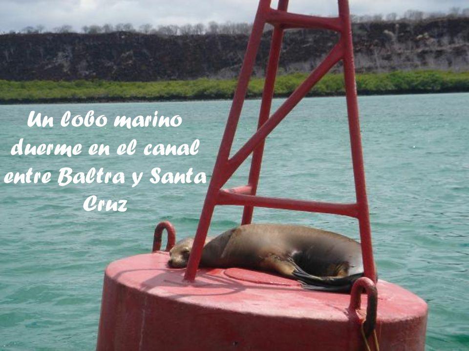Un lobo marino duerme en el canal entre Baltra y Santa Cruz