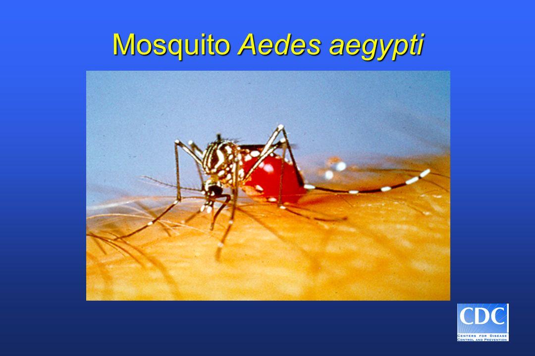 Aedes aegypti n El dengue es transmitido por un mosquito hembra infectado n Se alimenta principalmente durante el día n Vive cerca de las viviendas humanas n Pone los huevos y produce larvas preferentemente en recipientes artificiales