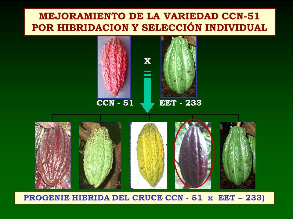 X PROGENIE HIBRIDA DEL CRUCE CCN - 51 x EET – 233) CCN - 51EET - 233 MEJORAMIENTO DE LA VARIEDAD CCN-51 POR HIBRIDACION Y SELECCIÓN INDIVIDUAL