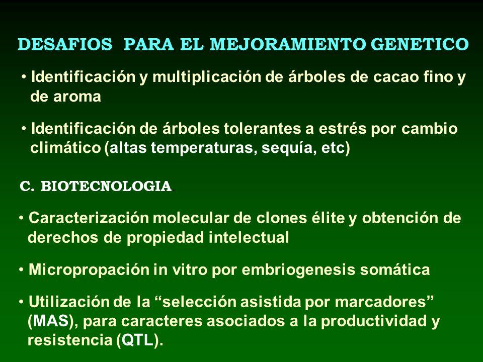 DESAFIOS PARA EL MEJORAMIENTO GENETICO C. BIOTECNOLOGIA. Identificación y multiplicación de árboles de cacao fino y de aroma Identificación de árboles