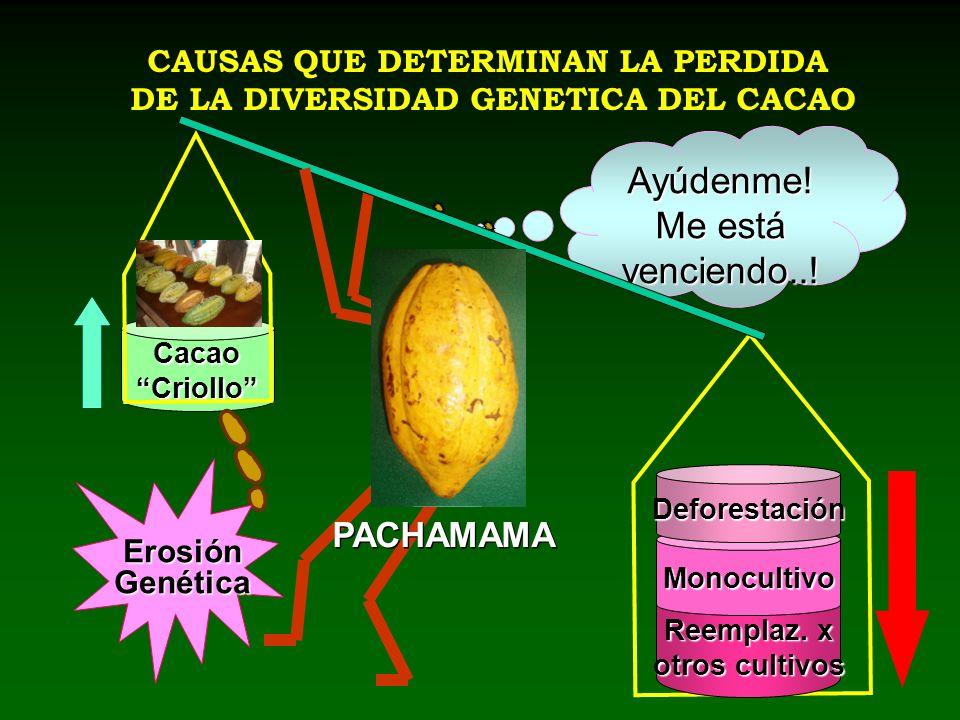 CacaoCriollo CAUSAS QUE DETERMINAN LA PERDIDA DE LA DIVERSIDAD GENETICA DEL CACAO Reemplaz. x otros cultivos Monocultivo Deforestación Ayúdenme! Me es