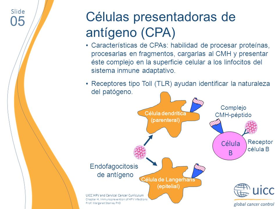 UICC HPV and Cervical Cancer Curriculum Chapter 4. Immunoprevention of HPV infections Prof. Margaret Stanley PhD 05 Células presentadoras de antígeno