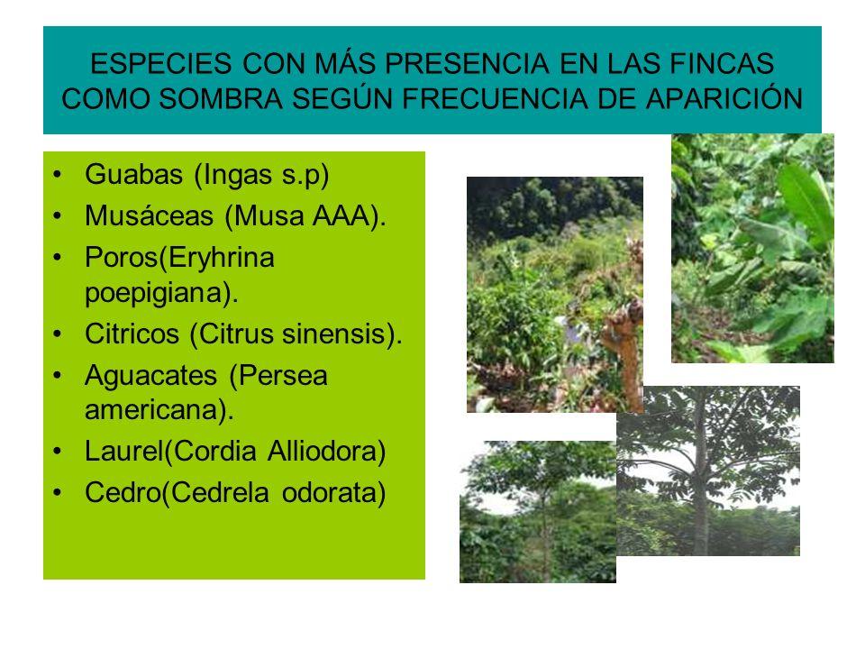 ESPECIES CON MÁS PRESENCIA EN LAS FINCAS COMO SOMBRA SEGÚN FRECUENCIA DE APARICIÓN Guabas (Ingas s.p) Musáceas (Musa AAA).
