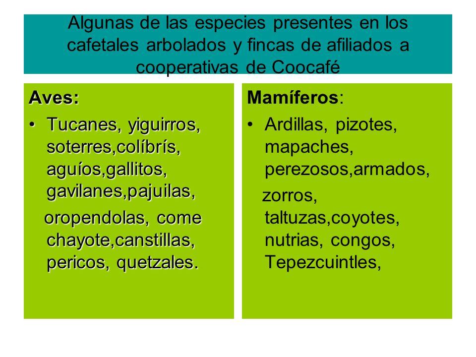 Algunas de las especies presentes en los cafetales arbolados y fincas de afiliados a cooperativas de Coocafé Aves: Tucanes, yiguirros, soterres,colíbrís, aguíos,gallitos, gavilanes,pajuilas,Tucanes, yiguirros, soterres,colíbrís, aguíos,gallitos, gavilanes,pajuilas, oropendolas, come chayote,canstillas, pericos, quetzales.