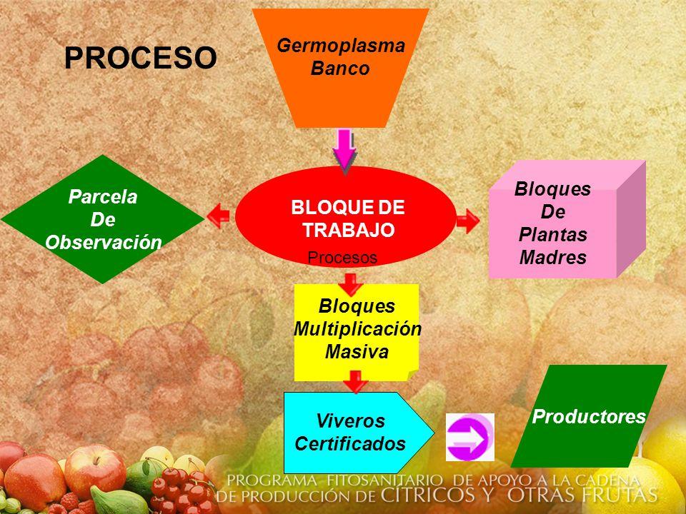 Bloques Multiplicación Masiva Bloques De Plantas Madres Productores Germoplasma Banco Parcela De Observación Viveros Certificados BLOQUE DE TRABAJO Pr