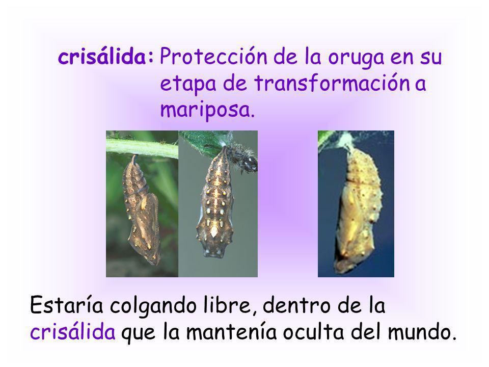 crisálida:Protección de la oruga en su etapa de transformación a mariposa. Estaría colgando libre, dentro de la crisálida que la mantenía oculta del m
