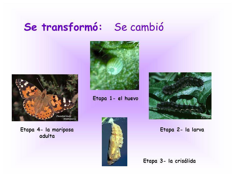 Se transformó:Se cambió Etapa 1- el huevo Etapa 2- la larva Etapa 3- la crisálida Etapa 4- la mariposa adulta