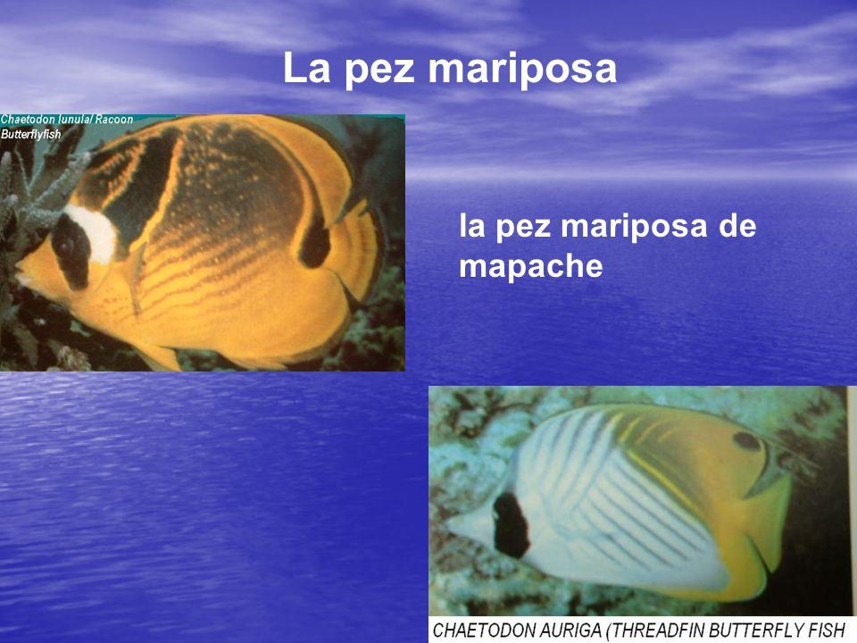 La pez mariposa la pez mariposa de mapache