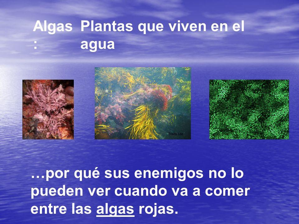 Algas : Plantas que viven en el agua …por qué sus enemigos no lo pueden ver cuando va a comer entre las algas rojas.