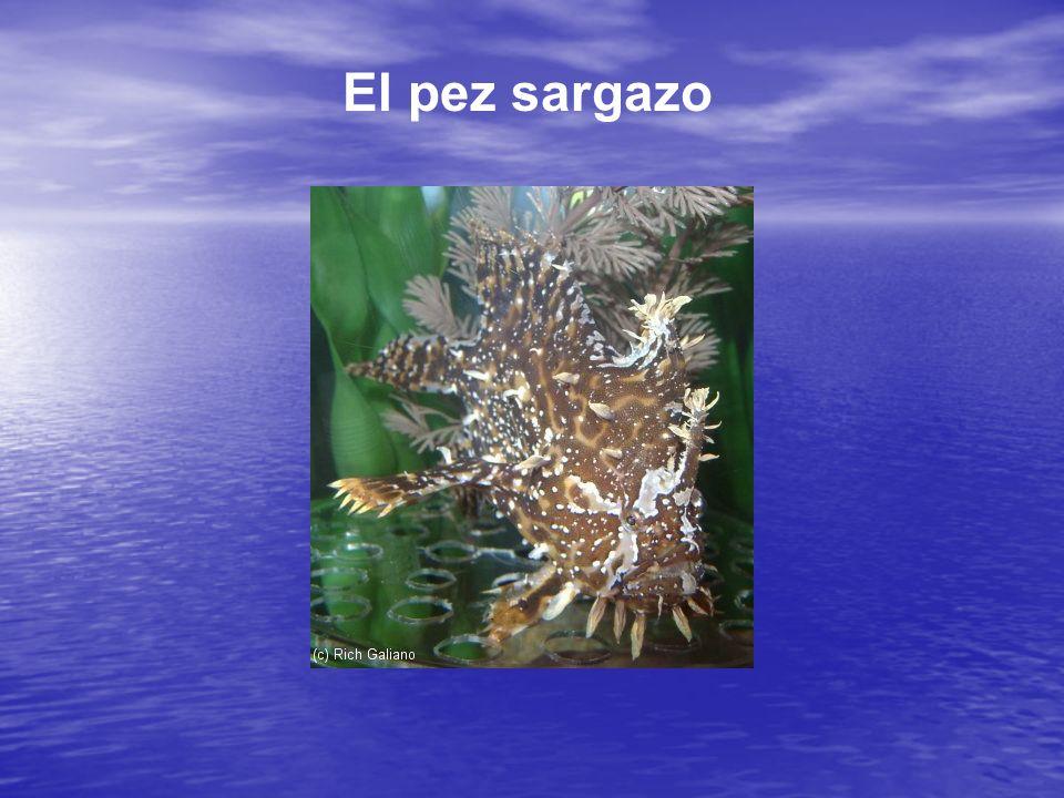 El pez sargazo