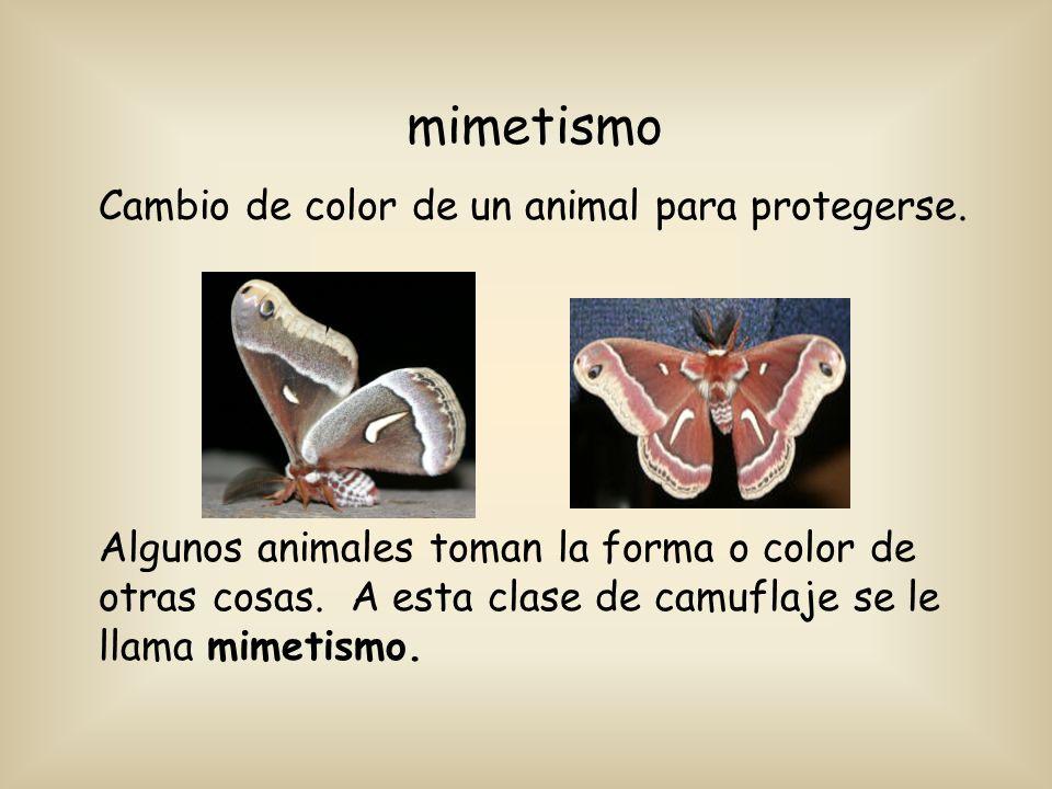 mimetismo Cambio de color de un animal para protegerse. Algunos animales toman la forma o color de otras cosas. A esta clase de camuflaje se le llama