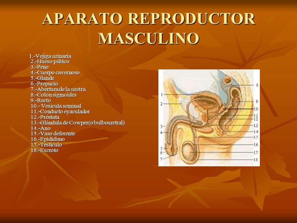 APARATO REPRODUCTOR FEMENINO Aparato reproductor femenino: el sistema sexual femenino, junto con el masculino, es uno de los encargados de garantizar la procreación humana.