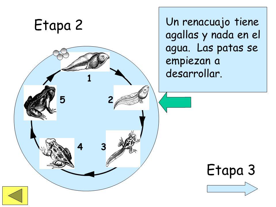 1 2 34 5 La vida de la rana comienza cuando el renacuajo sale del huevo. Etapa 1 Etapa 2