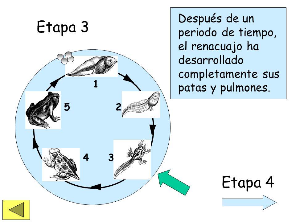 1 2 34 5 Etapa 3 Un renacuajo tiene agallas y nada en el agua. Las patas se empiezan a desarrollar.